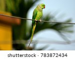 The rose ringed parakeet  also...