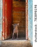 Small photo of Abyssinian Sand Terrier Dog in Havana Cuba