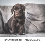chocolate labrador puppy | Shutterstock . vector #783906193