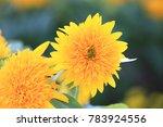 chrysanthemum flowers closeup... | Shutterstock . vector #783924556