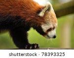The Endangered Red Panda ...
