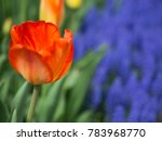 Orange And Pink Tulip With...