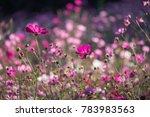 cosmos flower field. beautiful... | Shutterstock . vector #783983563
