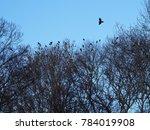 A Jungle Crow  Corvus...