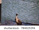 a double crested cormorant bird ... | Shutterstock . vector #784025296