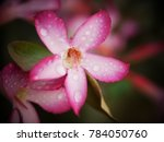 Adenium    azalea flowers are a ...