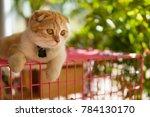 Stock photo scottish fold cat beautiful kitten playing on pink cage over green grass bokeh background 784130170