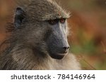 baboon sitting next to the road ... | Shutterstock . vector #784146964