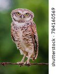 Stock photo burrowing owl perched on wire 784160569