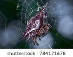 Small photo of Black female Parallel-spined spiny spider (Chelicerata: Arachnida: Araneae: Araneomorphae: Araneidae: Gasteracantha Diardi) feasting and carries a hard and heavy, armoured abdomen, hanging on its web