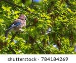 eurasian jay  garrulus...   Shutterstock . vector #784184269