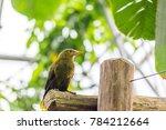 psarocolius viridis green... | Shutterstock . vector #784212664