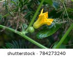 Small photo of female pollinated pumpkin flower next to small flowers of lemon verbena, Aloysia citriodora