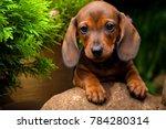 Stock photo dachshund dog summer garden 784280314