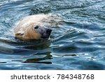 the polar bear  ursus maritimus ...   Shutterstock . vector #784348768