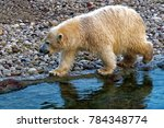the polar bear  ursus maritimus ...   Shutterstock . vector #784348774