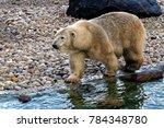the polar bear  ursus maritimus ...   Shutterstock . vector #784348780