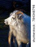 The Thinhorn Sheep  Ovis Dalli...