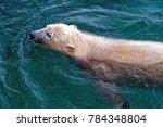 the polar bear  ursus maritimus ...   Shutterstock . vector #784348804