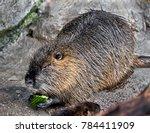 nutria eating cucumber.   latin ... | Shutterstock . vector #784411909