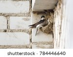 Swallow Sits In A Nest Under...