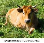cow resting in the field and... | Shutterstock . vector #784480753