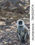 Small photo of Gray langur, ( Semnopithecus ), sitting on road, facing camera with white whiskers, and blurred background. Kahna National Park, India