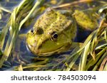 European Green Frog In A Pond....