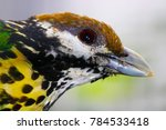 Small photo of head of a white-eared catbird (ailuroedus buccoides) in profile view