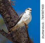 Small photo of American Kestrel watching from the branch. Bahamas. March 2017.