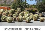 plant of agave harvested | Shutterstock . vector #784587880