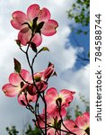 Pink Dogwood Reaching For The...