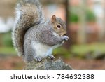 Side View Of  A Grey Squirrel...