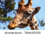 Detail Of Giraffe Head The Sky...