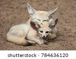 fennec foxes  vulpes zerda .... | Shutterstock . vector #784636120