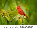 summer tanager  piranga rubra ... | Shutterstock . vector #784654108