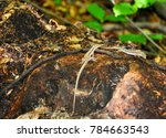 two lizards on rocks covered... | Shutterstock . vector #784663543