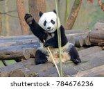 giant panda near chengdu ... | Shutterstock . vector #784676236