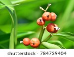 Small photo of Alpinia mutica (shell ginger, Orchid Ginger, Narrow leaved Alpinia) ; Bright of ripen fruits, round dark orange seeds. Clinging on long bouquet. Increased prominence by long green leaves, lance-shaped