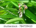Small photo of Alpinia mutica Roxb. (shell ginger, Orchid Ginger, Narrow leaved Alpinia) ; Green leaves, long bouquet, consisted white flowering, cylindrical. There is round green fruits with wilt flower at peak.
