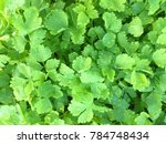 Small photo of The background and texture of beautiful fresh young green celery of the garden in morning which has some dew on the leaves. Celery is the vegetable that good for health and can cook with many food.