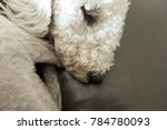 A Dog   Bedlington Terrier   I...