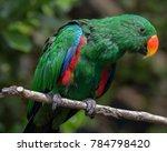 eclectus green parrot | Shutterstock . vector #784798420
