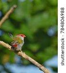 red browed eye  birdwatching ... | Shutterstock . vector #784806988