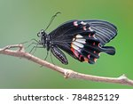 Stock photo butterfly common mormon papilio polytes is a common species of swallotail butterfly widely 784825129