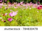 purple pink  cosmos flowers in... | Shutterstock . vector #784830478