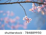 Sweet Pink Cherry Blossoms On...