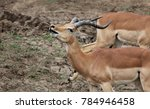 Small photo of Impala ram sniffing and snorting as a form of challenge to the other rams around him.