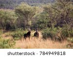 Small photo of sable antelope, Hippotragus niger, half hidden between the bushes landscape