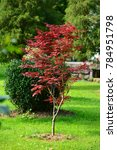 Small photo of Japanese red maple (Acer palmatum japonica red) in a park. Batumi